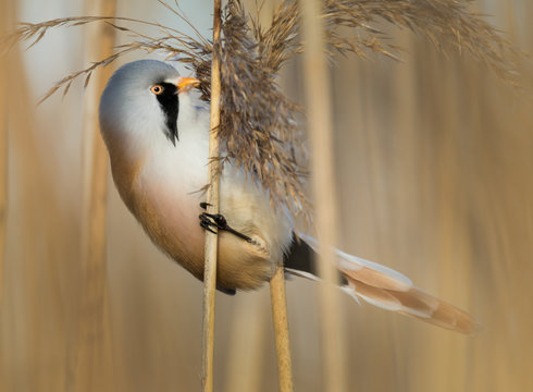Bearded reedling male in the reeds