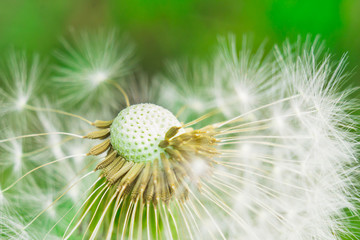 dandelion macro photo