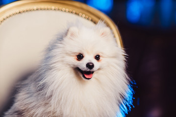 A cute Pomeranian dog lounging on a leather armchair