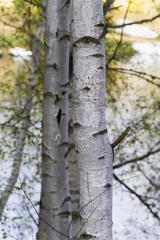 White - silver birch tree; background.