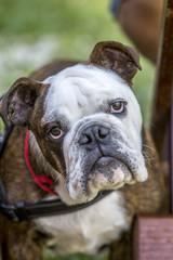 Close-up of English bulldog Face