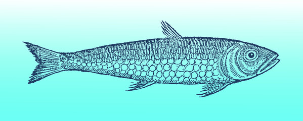 pilchard or sardine (sardina pilchardus) in profile view on a blue-green gradient background (after a historical or vintage woodcut illustration from the 16th century). Easy editable in layers
