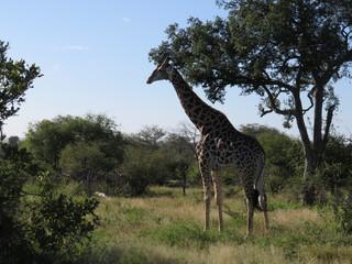 南アフリカにあるクルーガー国立公園のサバンナで生きるキリン