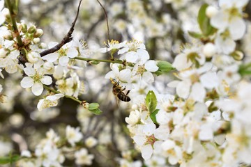Bee on the Cherry Tree Flowers
