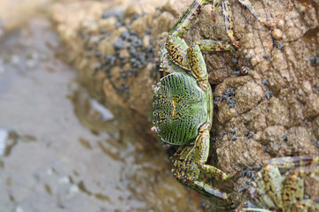Green crabs bright color animal wildlife holding on the small island of sea