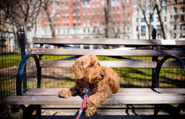 Goldendoodle sitting on park bench