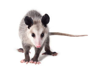 Young Virginian opossum (Didelphis virginiana) stands on a white background and looks at the camera. Isolated Wall mural