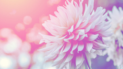 Spoed Fotobehang Dahlia background nature Flower dahlia pink. pink flowers. background blur