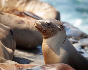 California Seal Lion Portrait on the coastline and sunbathing on the rocks