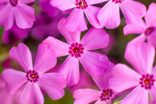 Phlox in bloom close-up