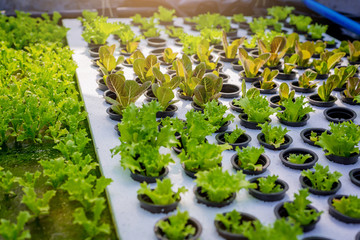Seedlings of Hydroponics Feeding the water floating on the foam board to wait for planting in the next step.