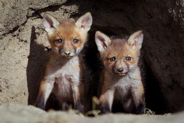 Beautiful european red fox cubs near the burrow ( Vulpes Vulpes)