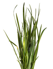 bunch of young green grass on white background