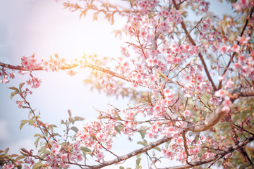 Wall Mural - Sakura or Cherry blossom in vintage style
