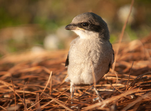 Baby Mockingbird (Mimus polyglottos) in Nest