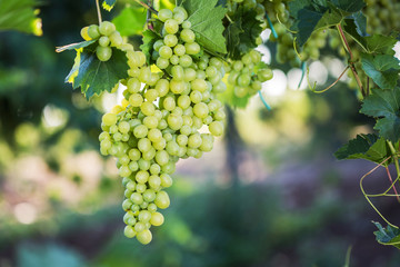 Large bunches of red wine grapes hang from an old vine in warm afternoon light.