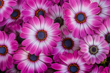 Beautiful blooming flowers of African daisies