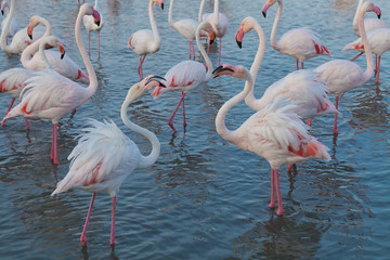 Pink big bird Greater Flamingo, Phoenicopterus ruber, in the water, Camargue, France