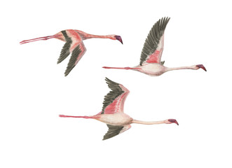 Watercolor painting  flying flamingos