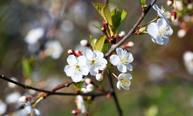 Spring natural blurred background with white flowering spring blossom. Blossoming cherry close-up.