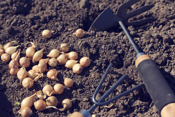 Planting onion sets with hand gardening tools