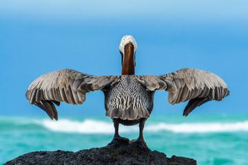 Brown pelican on a rock, Isabela island, Galapagos, Ecuador