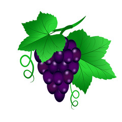 Vector illustration of a Vine with black grapes and leaves on white isolated background.