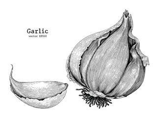 Garlic hand drawing vintage style