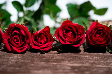 Red rose is beautiful flower for The meaning of love, On Valentine's Day and can be used for home decoration, copy space.