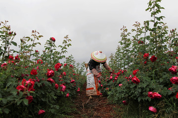 Woman gathers rose petals at a rose plantation in Anning