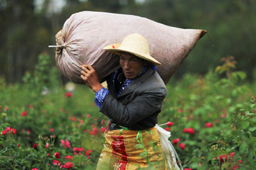 Man carries a sack of rose petals at a rose plantation in Anning