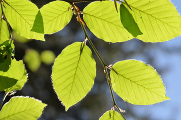 Green beech leaves with sunbeams during springtime