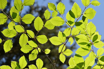 Green beech leaves background with sunbeams shining through