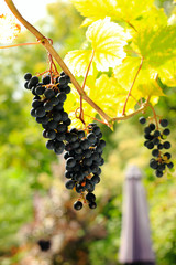 bunch of purple grapes at harvest time - grape background