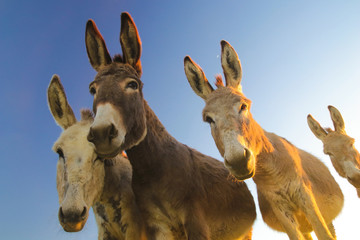 Four donkeys with funny faces