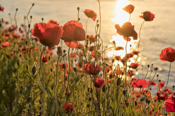 Poppy flowers at sunset