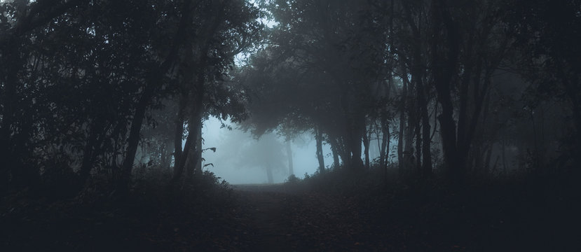 Fog in the forest morning Pine trees