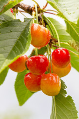 Cherry tree with ripe cherries in the garden. After the rain. Healthy food. Ripe Cherries hanging on a tree, just before they got picked
