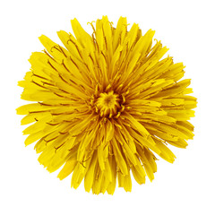 Flower  yellow  dandelion  isolated on white background. Flower bud close up.  Element of design.