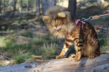 Hilarious Bengal cat wearing a wig
