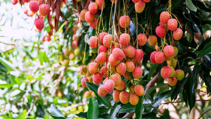 Lychee tree in an orchard.