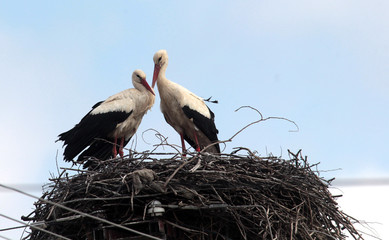 Couple of white storks (ciconia ciconia) in the nest.