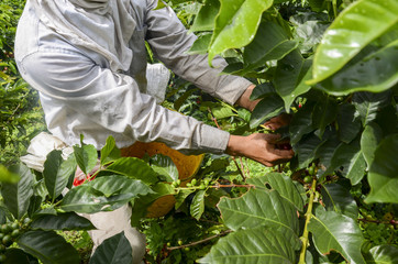 picking ripe coffee beans by hand.