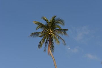 Nice palm tree with coconut in the blue sunny sky