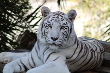 cabeça tigre branco