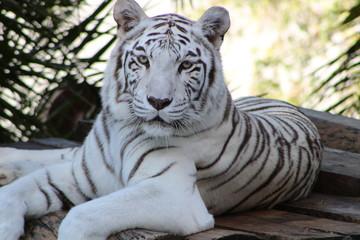 Photo sur Toile Tigre tigre branco