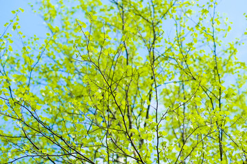 Background with young birch Leaves