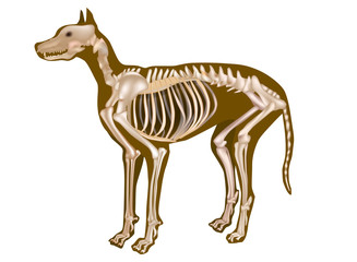 Dog Skeletal Anatomy Poster. CANINE ANATOMY