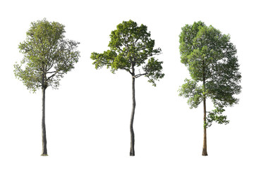 The tall Dipterocapus intricatus Dyer. Die cut three large the trees isolated on white background. Wall mural