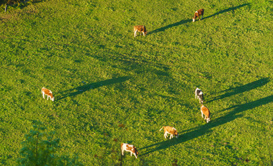 Swiss cows graze on meadow aerial view, Gruyeres, Switzerland